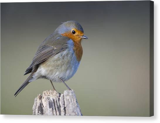 Perching Birds Canvas Print - Robin by Matteo Capelli