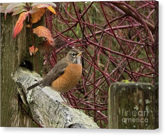 University Of Washington Canvas Print - Robin On A Seattle Winter Day by As the Dinosaur Flies Photography