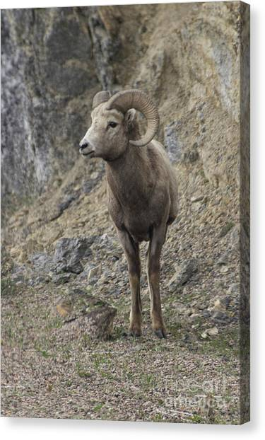Rockies Big Horn Canvas Print