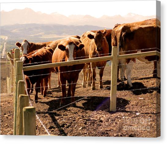 Rockies Cattle Country Canvas Print