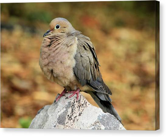 Mourning Dove Canvas Print - Rocky by Donna Kennedy