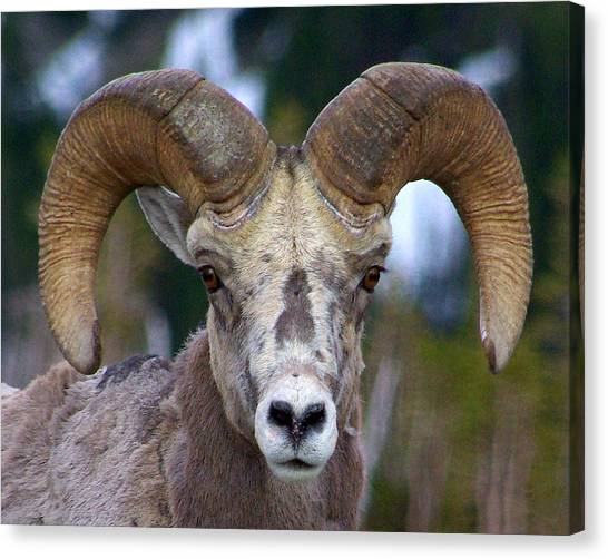 Rocky Mountain Bighorn Canvas Print