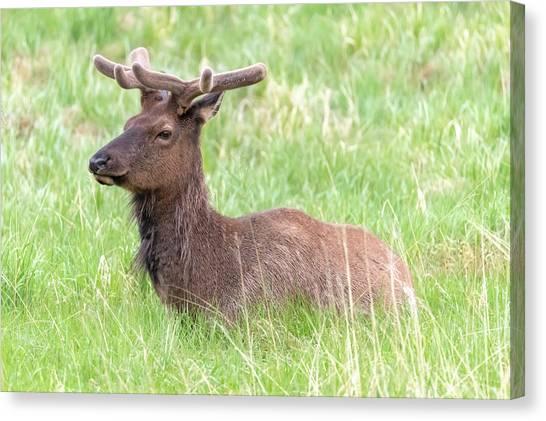 Rocky Mountain Elk In Velvet Canvas Print