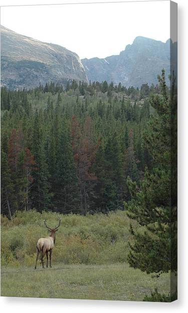 Rocky Mountain Elk Canvas Print by Kathy Schumann