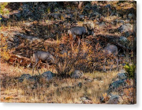Rocky Mountain National Park Deer Colorado Canvas Print