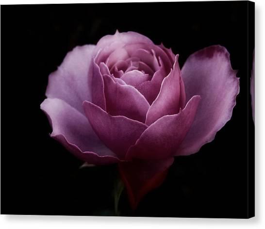 Romantic Pink December Rose Canvas Print