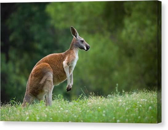 Kangaroo Canvas Print - Roo by Ryan Heffron