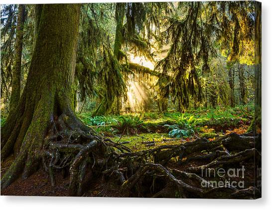 Olympic National Park Canvas Print - Roots And Light by Jamie Pham