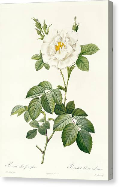 Rose In Bloom Canvas Print - Rosa Alba Flore Pleno by Pierre Joseph Redoute