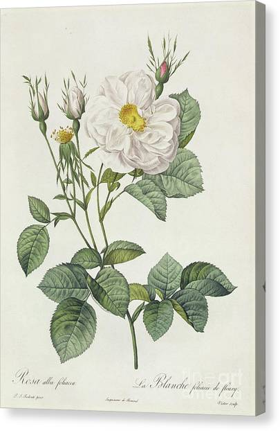 Rose In Bloom Canvas Print - Rosa Alba Foliacea by Pierre Joseph Redoute