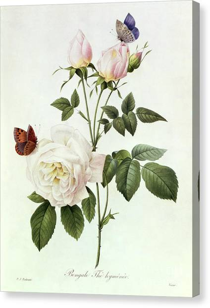 Botany Canvas Print - Rosa Bengale The Hymenes by Pierre Joseph Redoute