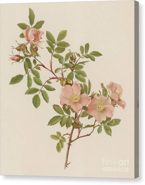 Wild Roses Canvas Print - Rosa Blanda Var Willmottiana by English School