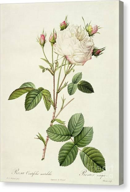 Botanical Gardens Canvas Print - Rosa Centifolia Mutabilis by Pierre Joseph Redoute
