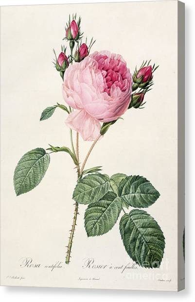 Rose In Bloom Canvas Print - Rosa Centifolia by Pierre Joseph Redoute