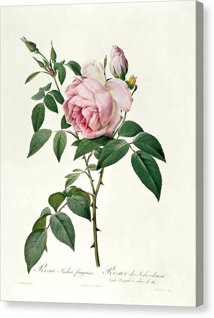 Rose In Bloom Canvas Print - Rosa Chinensis And Rosa Gigantea by Joseph Pierre Redoute