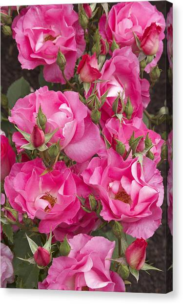 Rosa 'dancing Pink' Canvas Print by Geoff Bryant