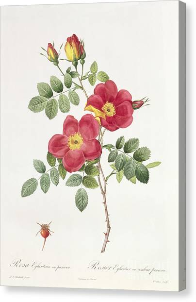 Rose In Bloom Canvas Print - Rosa Eglantera Punicea by Pierre Joseph Redoute