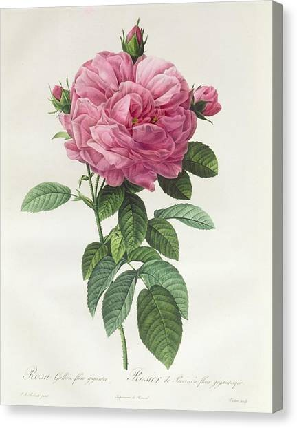 Spring Canvas Print - Rosa Gallica Flore Giganteo by Pierre Joseph Redoute