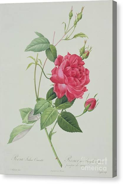 Rose In Bloom Canvas Print - Rosa Indica Cruenta by Pierre Joseph Redoute
