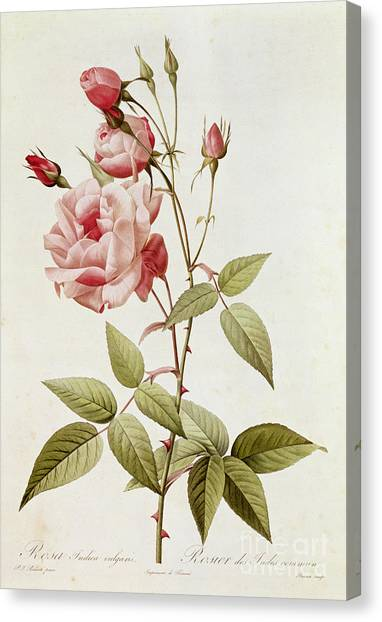 20th Canvas Print - Rosa Indica Vulgaris by Pierre Joseph Redoute