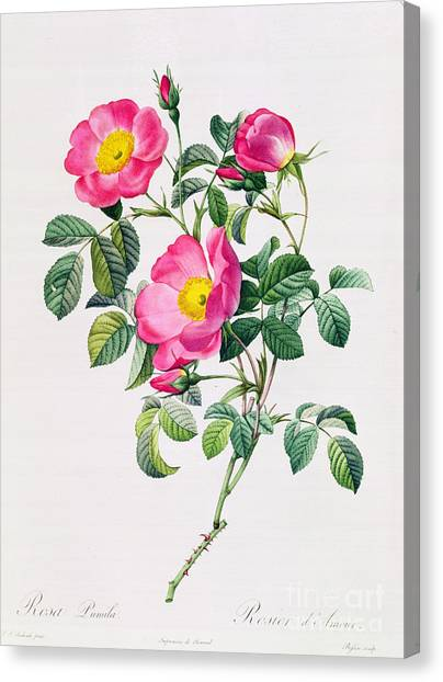 Rose In Bloom Canvas Print - Rosa Lumila by Pierre Joseph Redoute