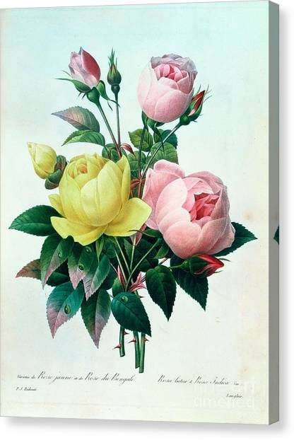 Bengals Canvas Print - Rosa Lutea And Rosa Indica by Pierre Joseph Redoute
