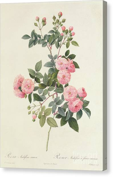 Rose In Bloom Canvas Print - Rosa Multiflora Carnea by Pierre Joseph Redoute