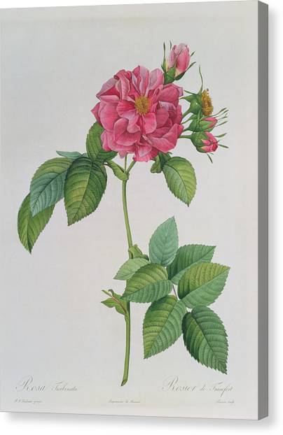 Rose Canvas Print - Rosa Turbinata by Pierre Joseph Redoute