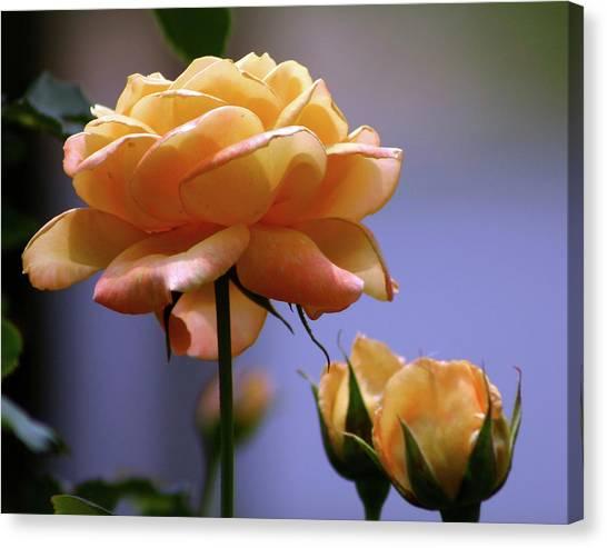 Rose 1156 H_2 Canvas Print