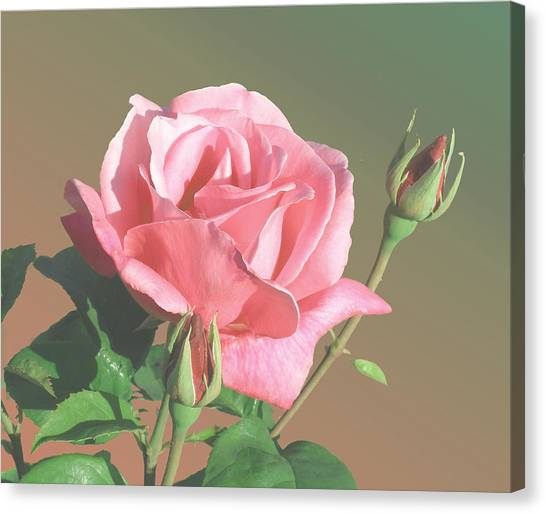 Rose And Two Buds Canvas Print by Wilbur Young