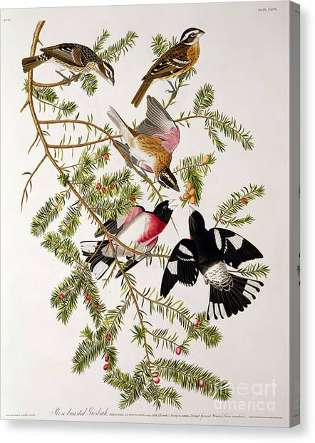 Tree Canvas Print - Rose Breasted Grosbeak by John James Audubon