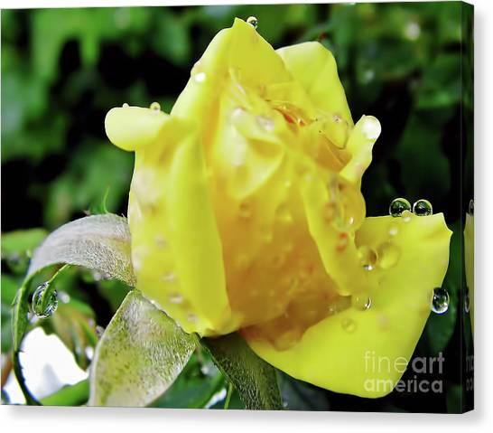 Rose Bud Dew Drops Canvas Print