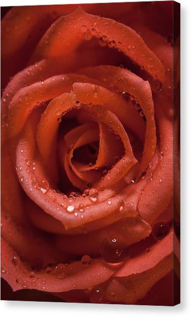 Rose Canvas Print by Chris Dale