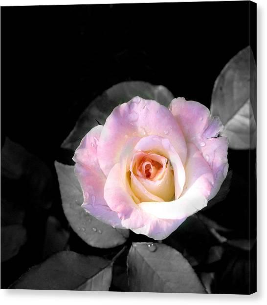 Rose Emergance Canvas Print