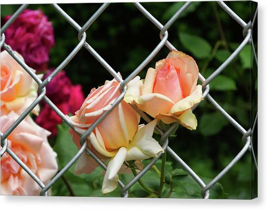 Rose Fence Canvas Print