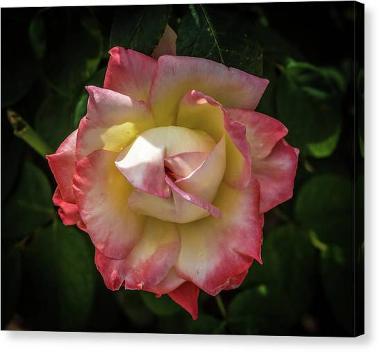 Rose From Mable Ringling's Garden Canvas Print