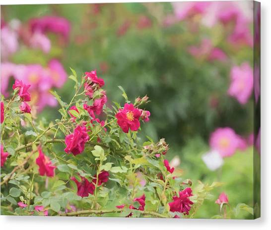 Canvas Print featuring the photograph Rose Garden Promise by Kim Hojnacki