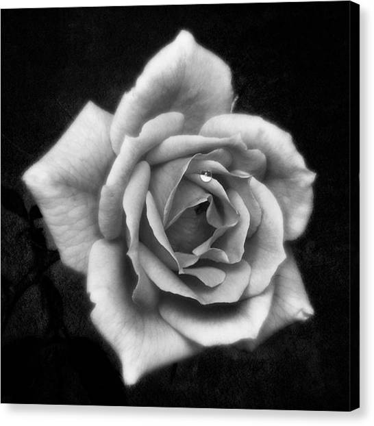 Roses Canvas Print - Rose In Mono. #flower #flowers by John Edwards