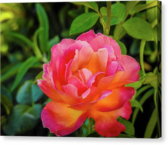 Rose In The Evening Canvas Print