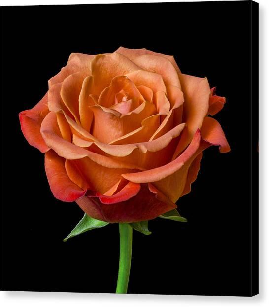 Tangerine Canvas Print - Rose by Jim Hughes