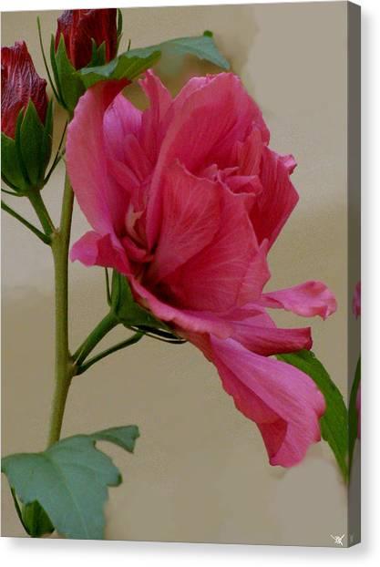 Rose Of Sharon Canvas Print by Debra     Vatalaro