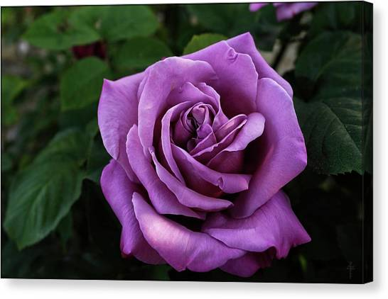 Navo Canvas Print - Rose Sissi  by Daniel Arrhakis