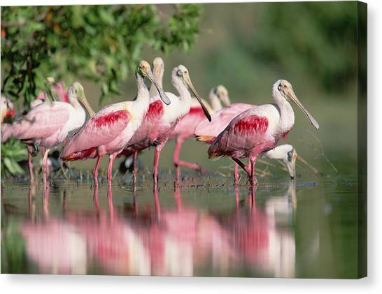 Spoonbills Canvas Print - Roseate Spoonbill Flock Wading In Pond by Tim Fitzharris