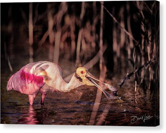 Canvas Print featuring the photograph Roseate Spoonbill Gulping by David A Lane