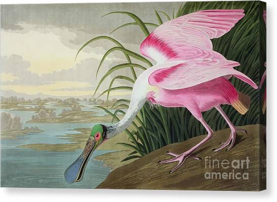 Water Birds Canvas Print - Roseate Spoonbill by John James Audubon