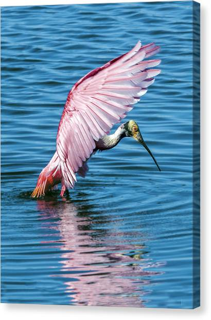 Roseate Spoonbill Landing Canvas Print