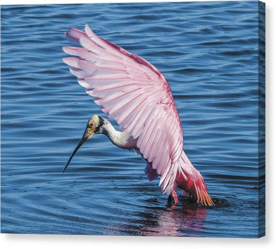 Roseate Spoonbill Profile With Wings Over Her Head Canvas Print