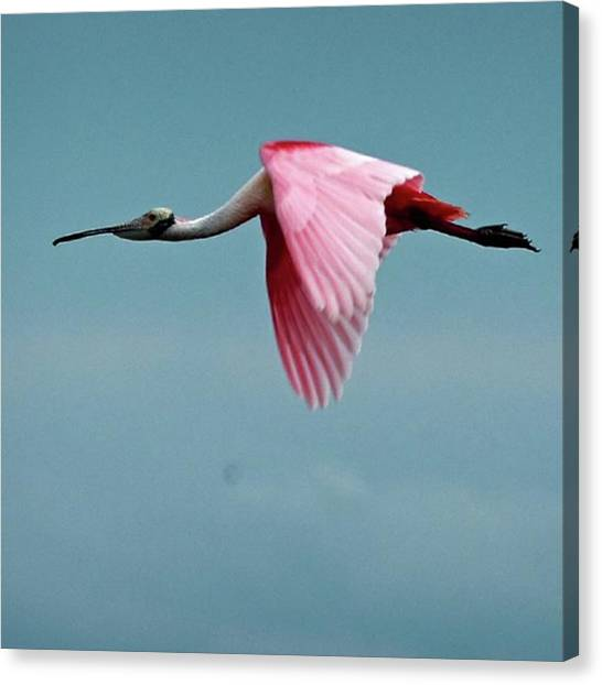 Spoonbills Canvas Print - Roseate Spoonbill Flying by Marvin Reinhart
