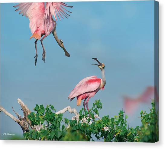 Roseate Spoonbills Canvas Print