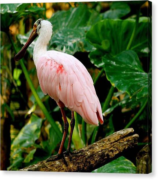 Rainforests Canvas Print - Roseated Spoonbill by Justin Connor